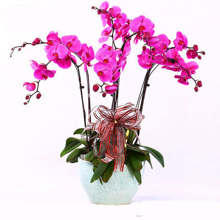 send butterfly orchids to hangzhou